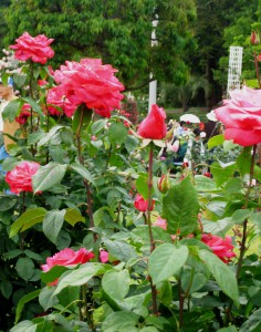 生田緑地バラ園 201205 090