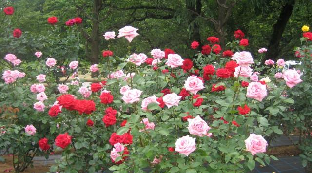 生田緑地バラ園 201205 082