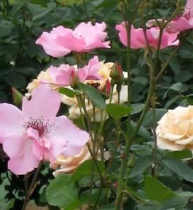 生田緑地バラ園 201205 095