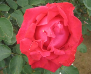 生田緑地バラ園 201205 038