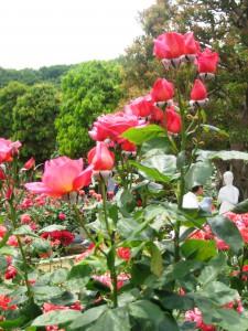 生田緑地バラ園 201205 108
