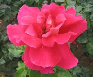 生田緑地バラ園 201205 076