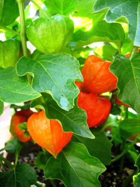 ベランダの野菜 022