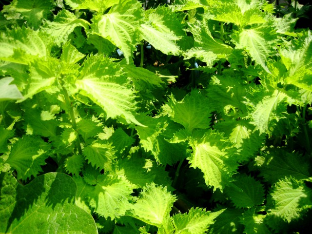 ベランダの野菜 019