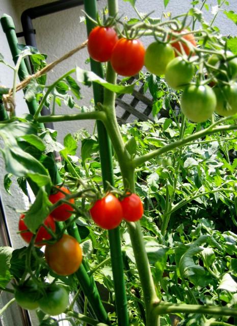 ベランダの野菜 007