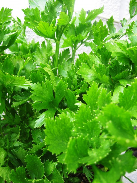ベランダの野菜 032