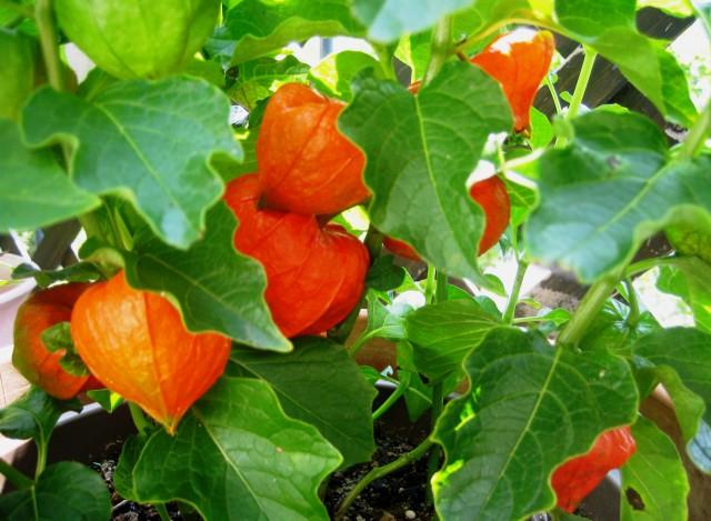 ベランダの野菜 021