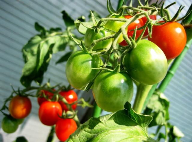 ベランダの野菜 005