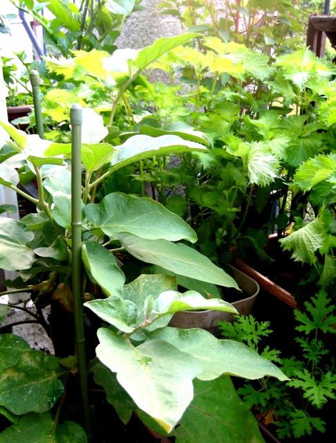 ベランダの野菜 004