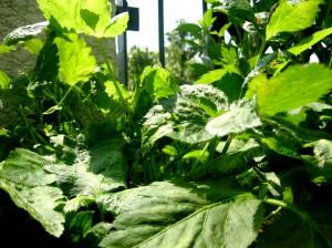 ベランダの野菜 014