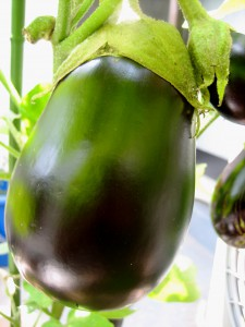 ベランダの野菜 013