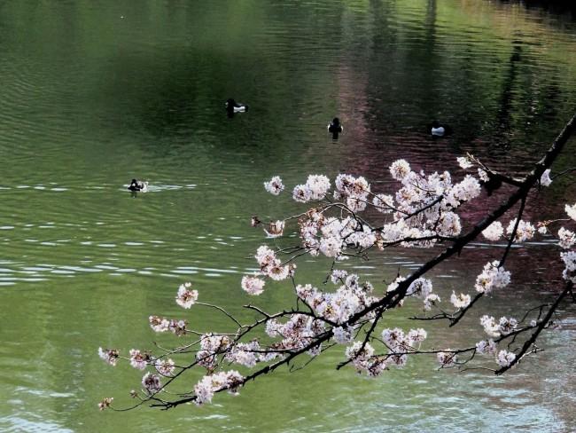 三ツ池公園さくら 090