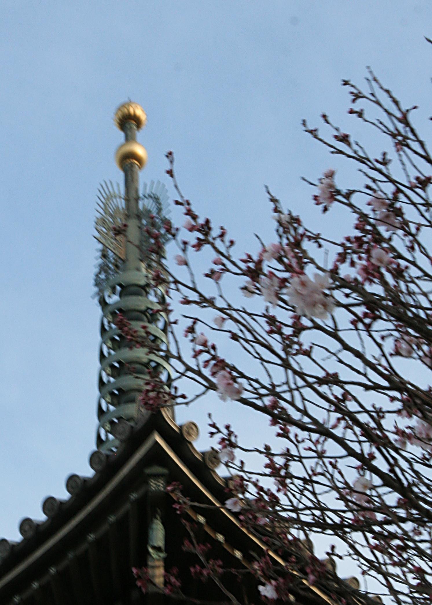 3月18日の小彼岸桜