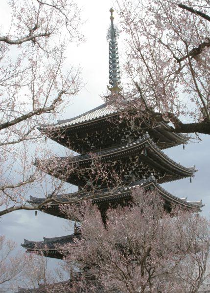 3月21日の小彼岸桜